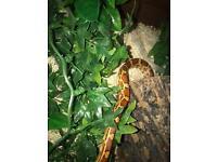 1 year old corn snake FULL SETUP 2 foot Vivarium heat mat and accessories