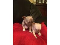 Chihuahua genuine (100%, tiny apple-head) 2 girls