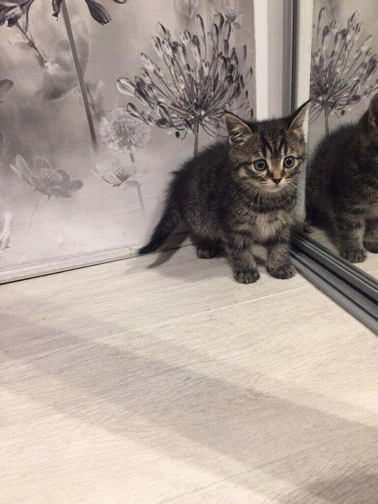 Tabby Kittens For Sale In Kirkcaldy Fife Gumtree