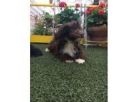 Jack Russel X poodle