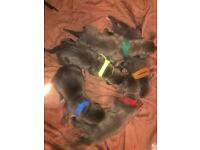 6 Cane Corso For Sale!