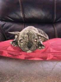 Chocolate Brindle Frenchie Bulldog Puppy Male *READY TO GO* OPEN TO OFFERS