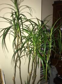 3 large spider plants and terracotta planter
