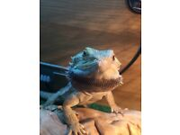 Bearded Dragon - Full Set-up
