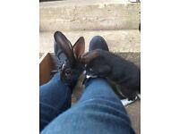 Rabbit velvet Rex standard