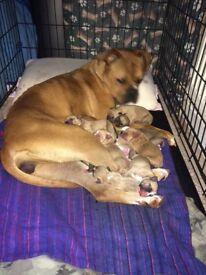 dogue de bordeaux X bull puppies