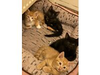 4 tortoiseshell Kittens for sale