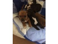 Tan amd white female staffy last left out litter of five Mum and dad full staffs both family pets
