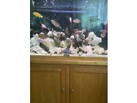 Aqua oak aquarium including well over 50 Malawi cichlids