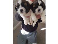 Shitzu puppies 2 girls 1 boy