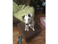 2 yr old Staff cross Jack Russell