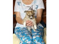 Wolf sable Chihuahua puppy needs new home £300
