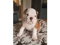 Best of British Bulldogs for sale