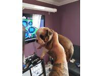 Old tyme bulldog x british bulldog