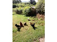 Flock of six bantams wanting good home