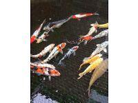 Koi carp pond closing Quality A grade all going cheap!!