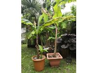 Banana plants for sale, .