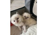 4x Purebred Ragdoll kittens for sale