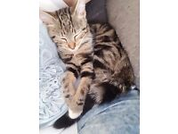 4 month old tabby kitten £20