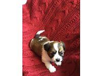 Beautiful Maltese Shih Tzu Cross Puppies for Sale