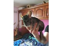 Male Chinchilla For Sale Without Cage