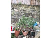 3 big pots and plants in Clapham