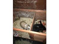 Black rabbit & white mini loop plus hutch