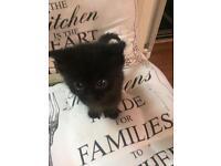 Kitten SOLD