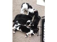 Gorgeous kittens - 2 black and 3 black and white