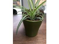 House plants: navigated spider plant in a green ceramic pot. Collect from Fulham