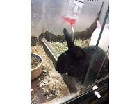 Rabbit male netherland