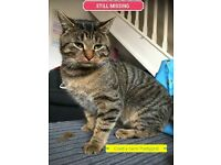 MISSING TABBY CAT
