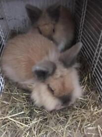 2 beautiful house rabbits