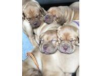 Beautiful Mastiff Girls needing their forever homes