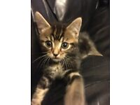 Male Kitten 8 weeks old. £60