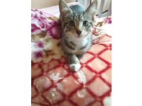 Beautiful Tabby Kitten 12 weeks Female