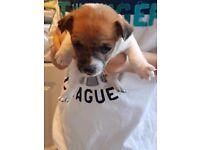 Jack Russell/Shitzu Puppys