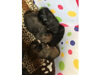 £550 Beautiful Lhasa Apso puppies 🐶