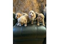 Gorgeous f1b toy cockapoo puppies for sale