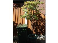 Japanese maple,Acer Palmatum specimen tree in pot 7ft highx 3ft wide.