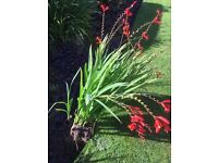 'Lucifer' - PLANTS FOR SALE