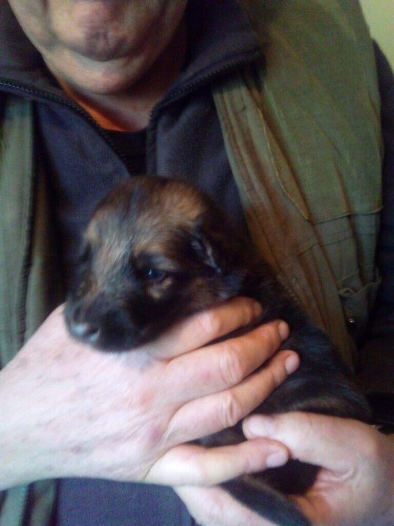 German Shepherd Puppies For Sale In Burnopfield Tyne And Wear Gumtree