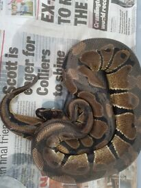 Ball pythons 1 Leopard pinstripe male and
