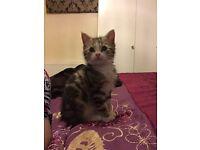 Beautiful 16 week old kitten