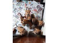 Husky x Staffordshire bull terrier puppies