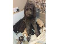 Multi generation standard labradoodle puppies for sale