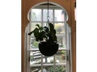 Indoor hanging plant with hanging basket