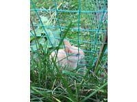 Baby netherland dwarf rabbits ready now beautiful