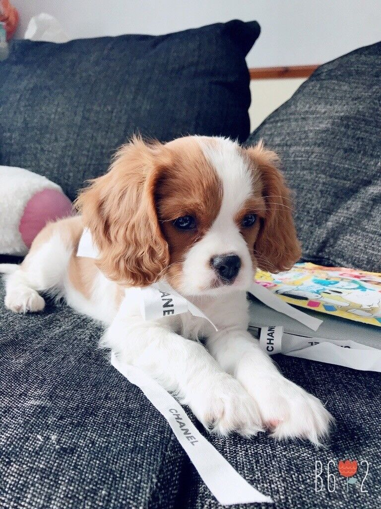 Cavalier King Charles Puppy Not For Sale Any Morexx In Bradford
