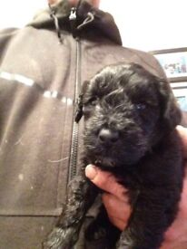 Kerry Blue Terrier x Toy Poodle Dog pup